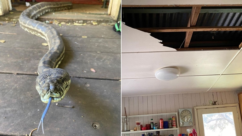 Horny Pythons come crashing through David Taites kitchen ceiling in Brisbane as they try to mate