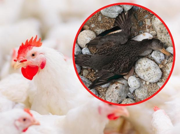 New Restrictions Declared For Bird Flu In Cornwall